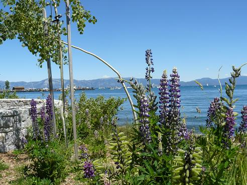 Lupines at Tahoe City at Lake Tahoe, California