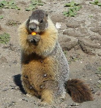 A Marmot at High Camp Squaw Valley eating an Orange Paintball Pellet.