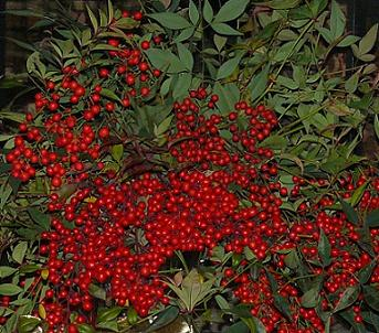 Nandina - great to use as a Christmas Decoration