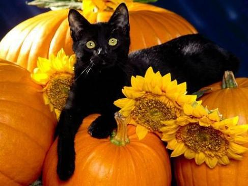 Pumpkins, sunflowers and a black cat