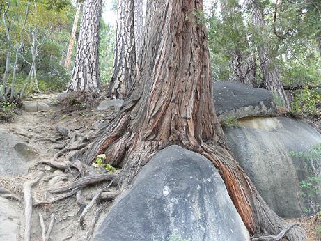 Vikingsholm Trail at Emerald Bay, Lake Tahoe - Tree Roots growing around rocks!